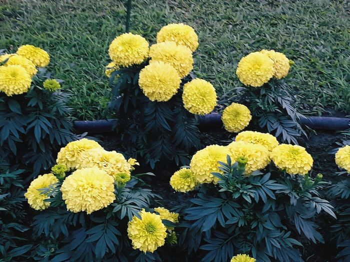 High angle view of yellow flowers