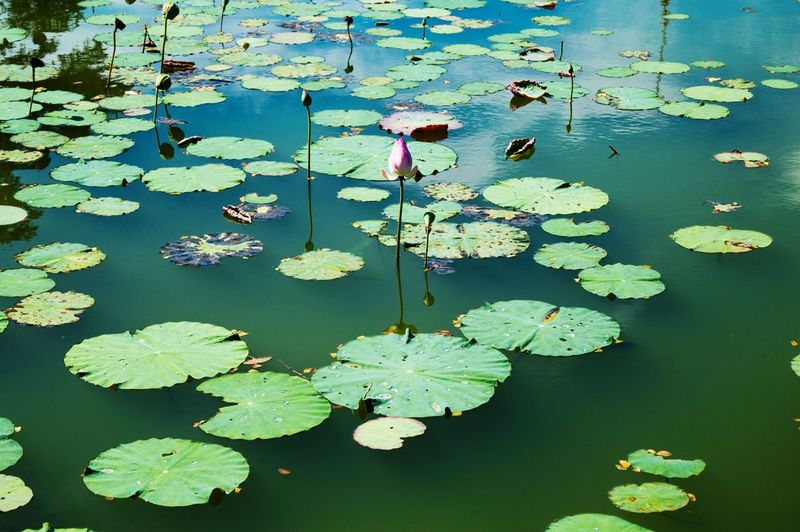 Nature Beauty In Nature Beautiful Nature Waterlily Water Beauty Redefined Green The Great Outdoors - 2016 EyeEm Awards Outdoors Plant Plants