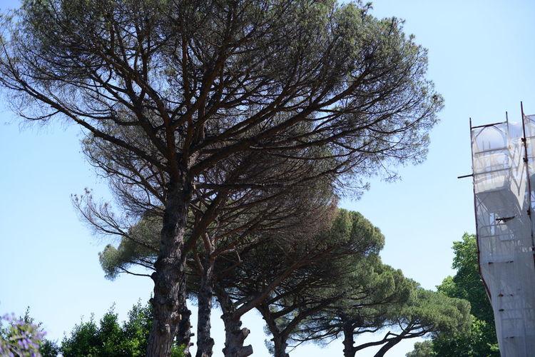 Italy Day Tree
