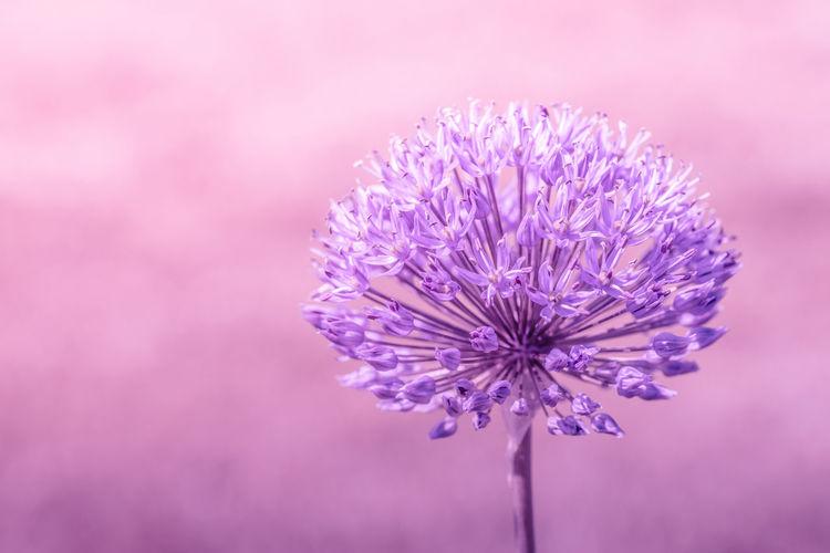 Close-up of purple allium giganteum