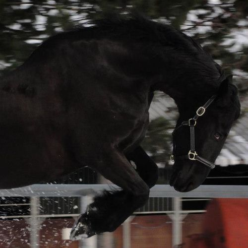 Animal Animal Body Part Black Color Close-up Crazy Look Focus On Foreground Frisian Horse In Movement My Favorite Photo Outdoors Part Of Powerful UaU Zoology
