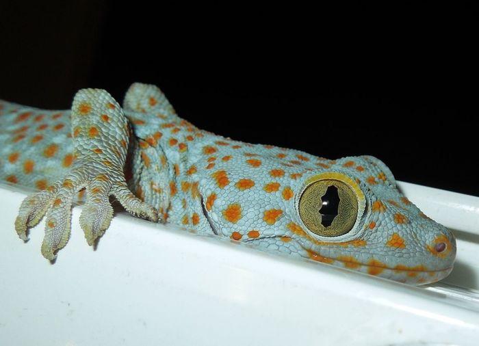 Filipino Gecko Pet Portraits The Philippines Antipolo Gecko Macro Gecko Orange Spots Tokay Gecko