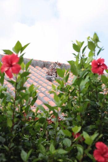沖縄 赤瓦の屋根 赤瓦 シーサー 草花 空 Okinawa Flower 花 日本 Japan Sky Natural 自然 植物 Red Red Tile Roofs Red Tile ハイビスカス Hibiscus Hibiscus Flower ハイビスカスの花