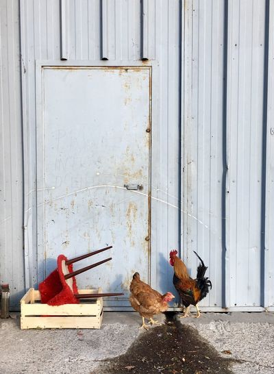 French door, chickens