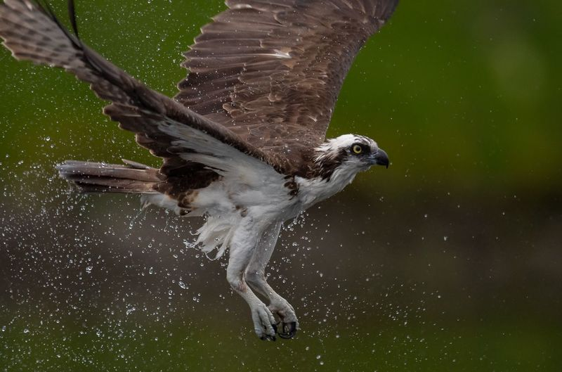 Close-Up Of Eagle Flying Mid-Air
