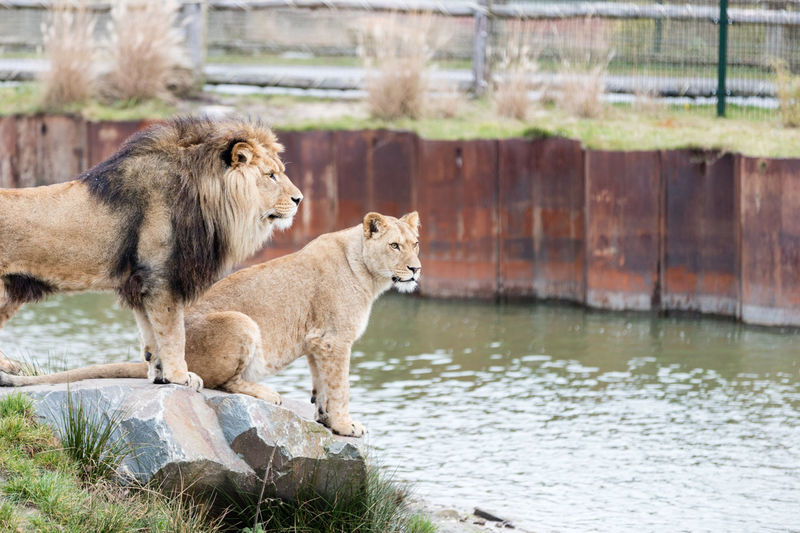 Male and female lion relaxing by river