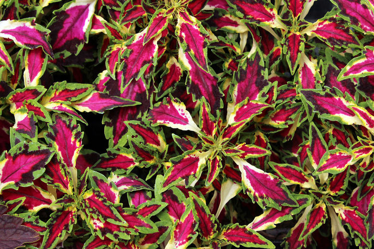 Coleus Annual Background Backgrounds Beauty In Nature Coleus Colorful Flower Freshness Garden Greenhouse Growth Leaf Mulit-color Nature No People Nursery Outdoors Plant Plant Texture Top View