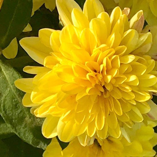 Dahlia Flower Petal Fragility Flower Head Freshness Beauty In Nature Yellow Nature Growth Close-up Plant No People Day Outdoors Blooming Beautiful Nature Autumn🍁🍁🍁 Beauty In Nature Flowers Plant Macro Landscape Amazing Spring Flowers