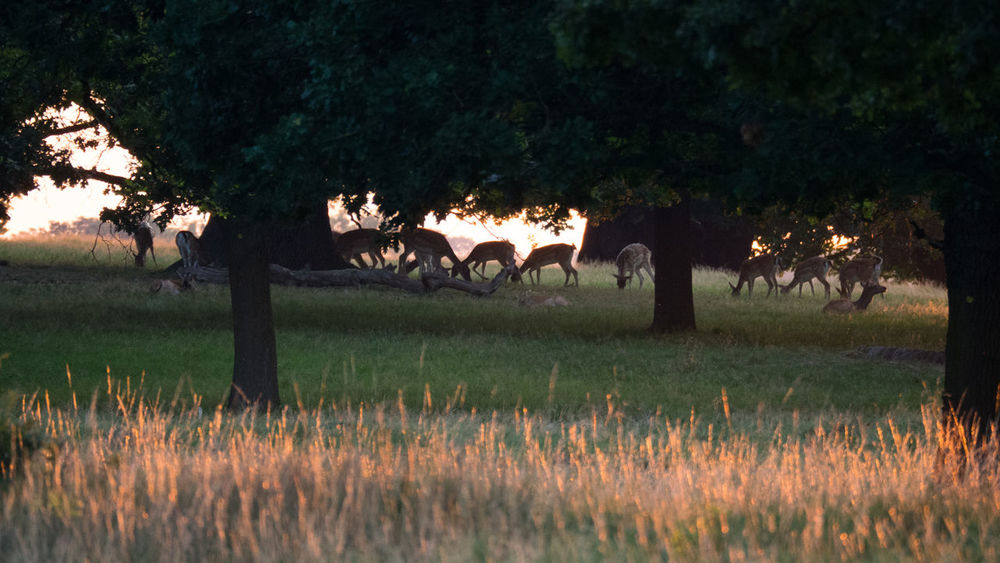 Deer at Sunset in Richmond Park, London Backlight Deer London Park Richmond Park, London Silhouette Animal Themes Animals In The Wild Backlighting Fawn Golden Hour Golden Light Grass Mammal Nature No People Outdoors Sunset Tree