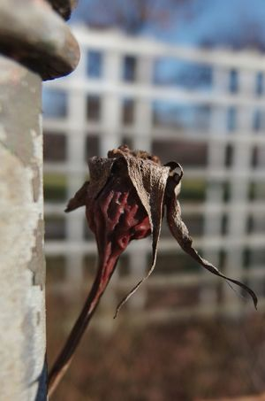 It had its time. Sunlight And Shadow Sunshine Photography Focus On Subject Blurred Background depth of field Dead Rose Outdoors Day Close-up Nature