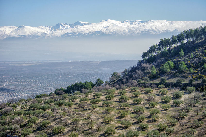 Scenic view of snowcapped mountains and olive trees against sky