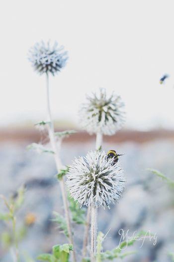 Natur pur Nature Bee Flower Erfurt Biene Distel Muelorarts Natur First Eyeem Photo