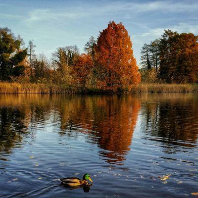 Herbst Autumn Ente Duck