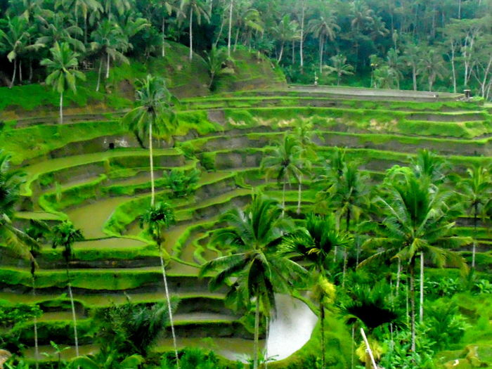 Green Color Growth Plant Rice Field Subak Tropical Climate