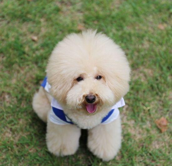 Poodle Love My Toypoodle Pet Smile I Love My Dog Dog Enjoying Life Cutedogs Japan Japon