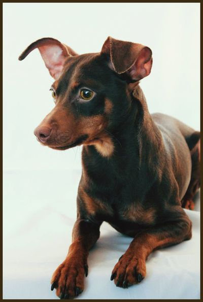 Diesel the min pin Minpin Miniature Pinscher EyeEm Selects Pets One Animal Dog Domestic Animals Animal Themes Indoors