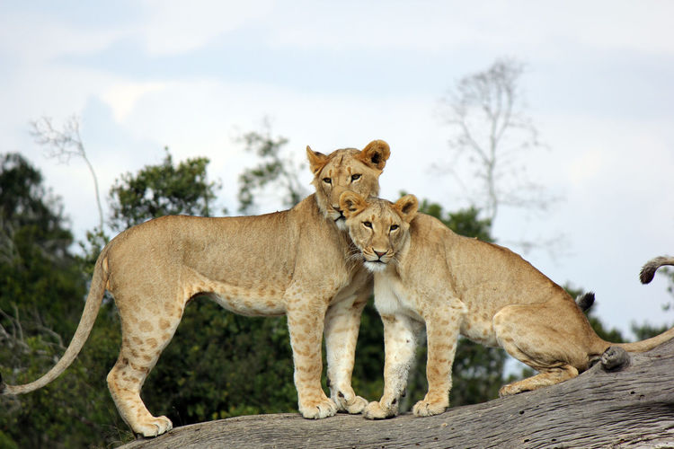 Lionesses On Tree Trunk Against Sky