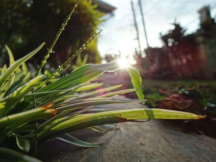 """""""New Day"""" captured on SONY QX10 Camera Lens .. . Nature Close-up Plant Beauty In Nature Outdoors Sun Day Sky Freshness Green Nature Nature Photography Morning Leaf Growth Sunbeam Sunlight Sunset Green Color No People Flower Head INDONESIA"""