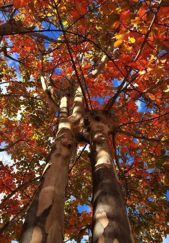 Tree Autumn Leaf My Colors Of Autumn Low Angle View Change Tree Trunk Nature Outdoors Beauty In Nature Forest Sky Taking Photos Textures And Surfaces Quiet Moments Relaxing Walking Around Warmth