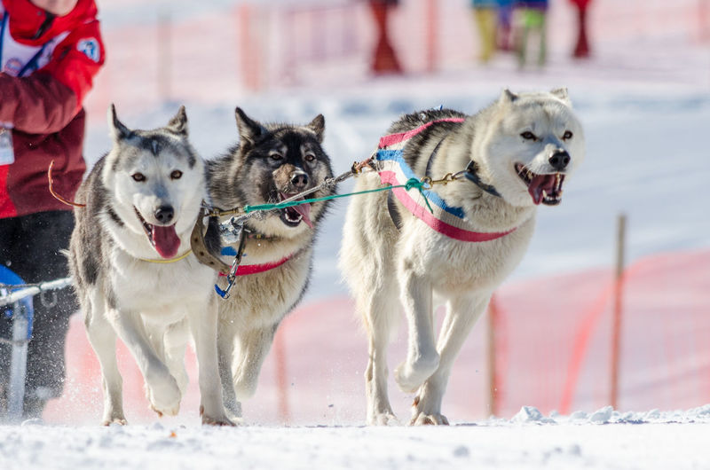 Three Sled Dogs In Motion