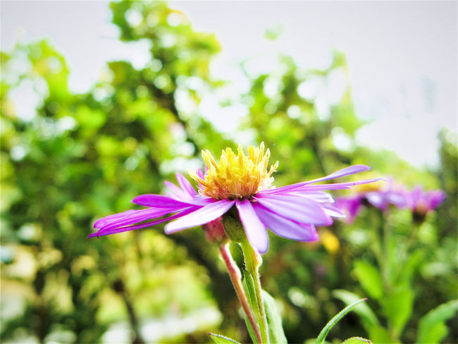 Beauty In Nature Blooming Close-up Day Flower Flower Head Focus On Foreground Fragility Freshness Green Color Growth Nature No People Outdoors Petal Pink Color Plant Pollen Purple Purple Flower Purple Flowers