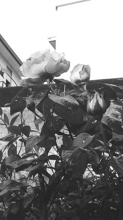Rose🌹 Beauty In Nature Flower Collection Flower Photography EyeEm Gallery Eye4photography  Blackandwhite Photography EyeEm Best Shots - Black + White Shades Of Grey