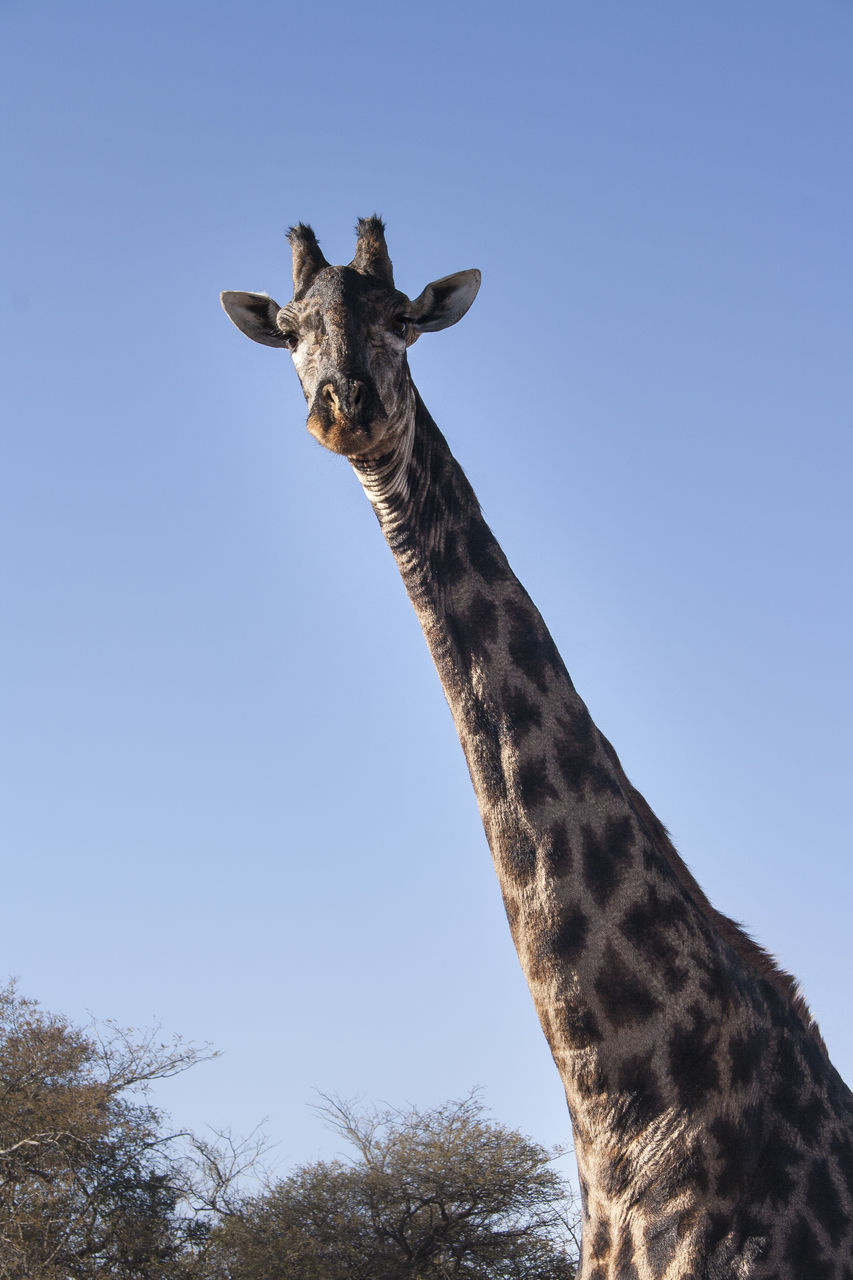 giraffe, animals in the wild, one animal, animal themes, animal wildlife, mammal, clear sky, low angle view, safari animals, day, looking at camera, outdoors, nature, portrait, no people, standing, tree, beauty in nature, sky
