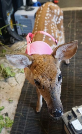 Recovering fawn