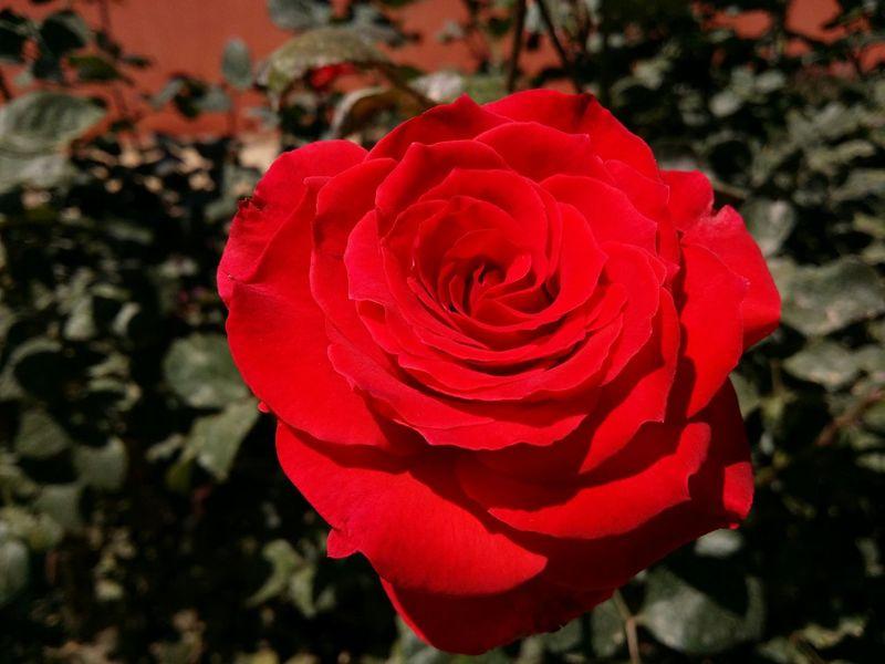 Red Rose Rosé Red Color Rose Macro Rose🌹