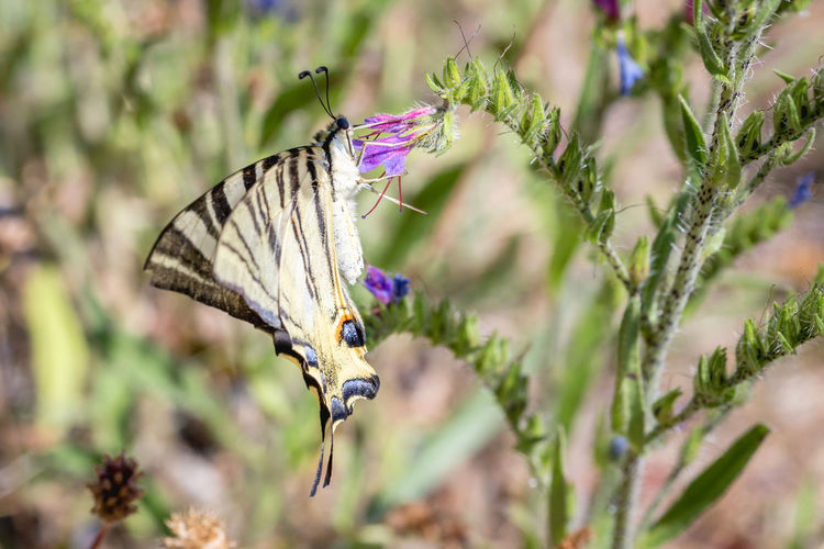 European Swallowtail butterfly Papilio machaon. Beautiful Bright Machaon Macro Photography Nature Papilio Machaon Papilionidae Animal Beauty Beauty In Nature Biology Butterfly Colorful Entomology Flower Garden Insect Lepidoptera Papilio Spring Summer Swallowtail Butterfly Wildlife Wings Yellow