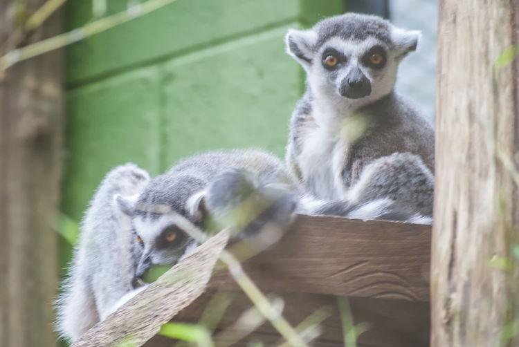 Ring tailed lemur Lemur Portrait Tree Looking At Camera Sitting Close-up