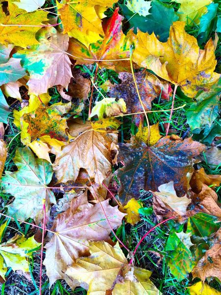 Autumn leaves on the ground The Fall Autumnal Green Brown Yellow Floor Ground Horse Chestnut Autumn Leaves Full Frame Multi Colored Backgrounds No People Day Pattern Abstract Nature Outdoors Leaf Plant Close-up