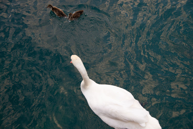 High angle view of seagull swimming in lake