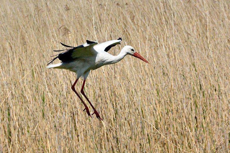 White stork flying above plants