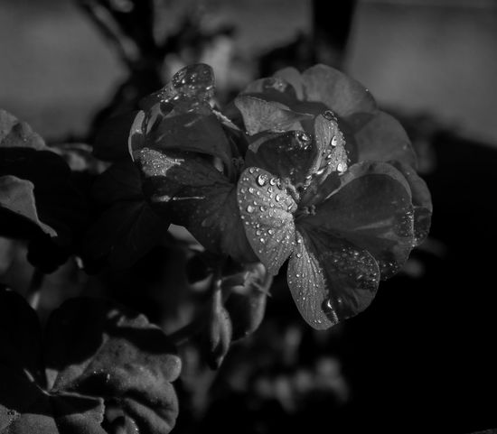 Beauty In Nature Blackandwhite Close-up Day Dew Drop Flower Flower Head Flowering Plant Focus On Foreground Fragility Freshness Growth Inflorescence Nature No People Outdoors Petal Plant Purity RainDrop Vulnerability  Water Wet