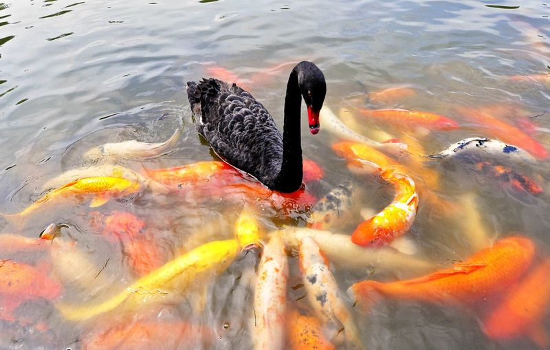 High Angle View Of Black Swan Swimming In Pond By Koi Fish
