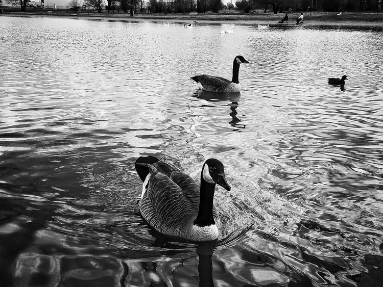 Water Animal Themes Animals In The Wild Bird Silhouette Lake Swimming Outdoors Nature Day No People