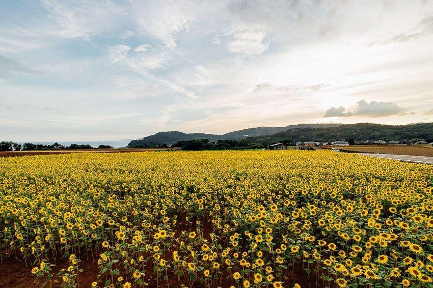 Flowers Flower Photography Sunflower🌻 Sunflowers🌻 Sunflowers Unzen Nagasaki Nagasaki JAPAN July 2016