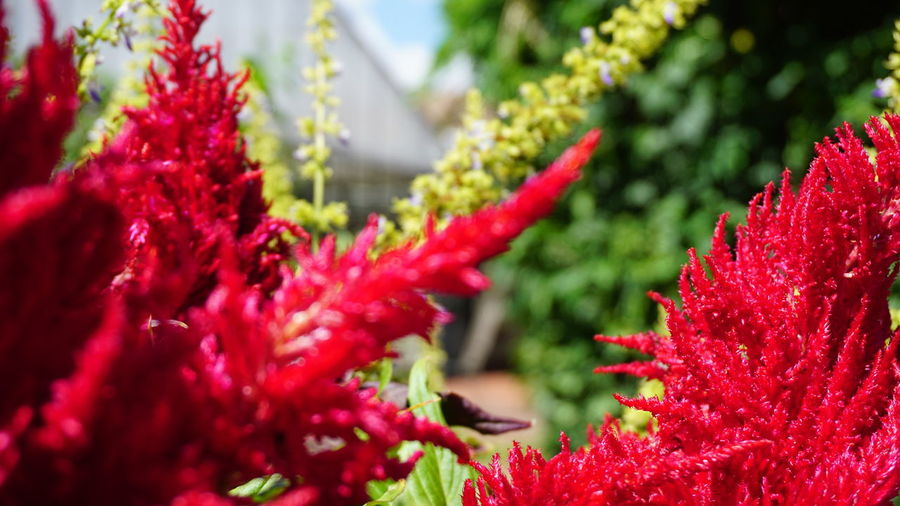 Red Plant Flower Growth Flowering Plant Beauty In Nature Freshness Close-up Vulnerability  Fragility Nature Selective Focus Day No People Petal Flower Head Inflorescence Botany Focus On Foreground Plant Part Springtime Outdoors
