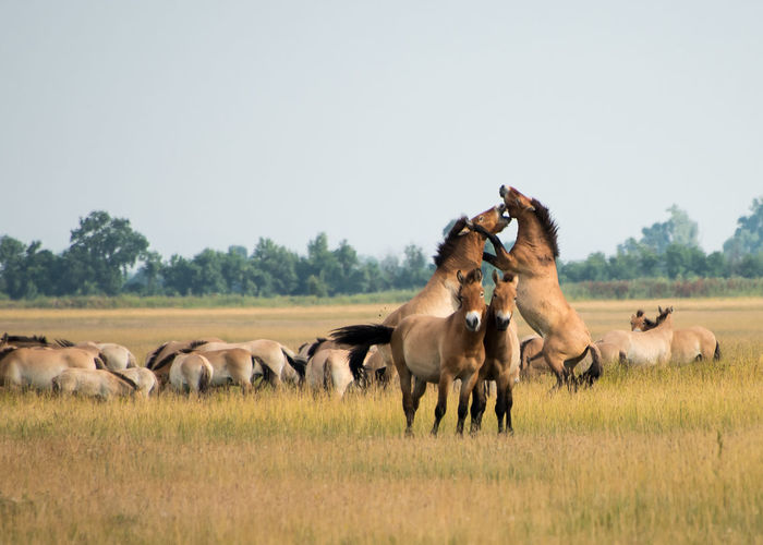 Wild horses in the Hungarian moorland Animal Animal Themes Animals In The Wild Clear Sky Day Domestic Animals Equus Caballus Przewalskii Foal Grass Horse Hortobagy Large Group Of Animals Mammal Nature Nature, No People Outdoors Playing Przewalskii Hoirses Sky Stallion Togetherness Wildlife