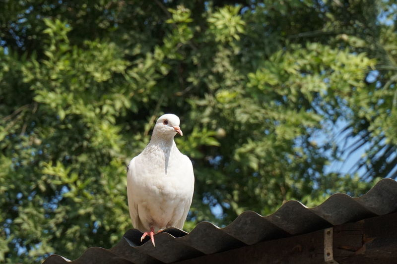 Low Angle View Of Pigeon Perching On Roof Against Trees
