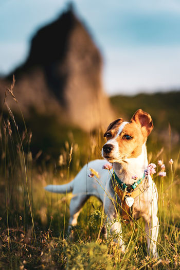 An outdoor portrait of tsunami the jack russell terrier standing in front of a rocky cliff