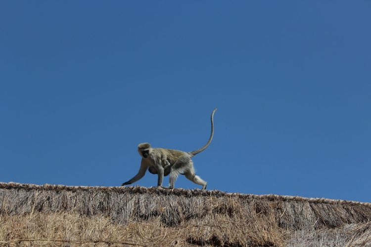 Low angle view of monkey standing against clear blue sky