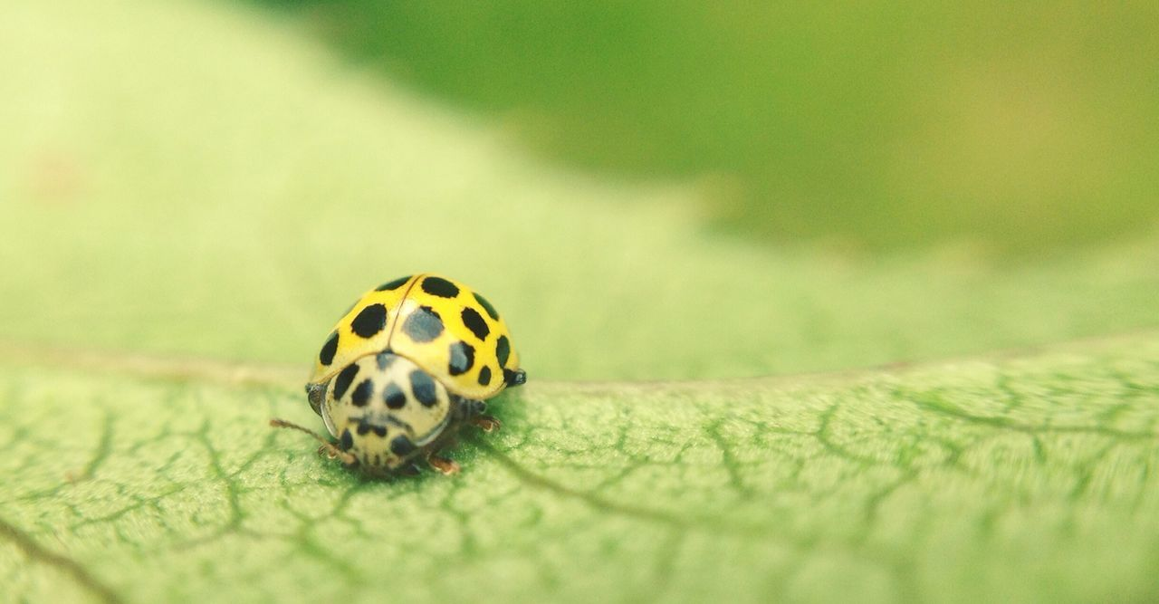 Close-Up Of Yellow Ladybug On Leaf