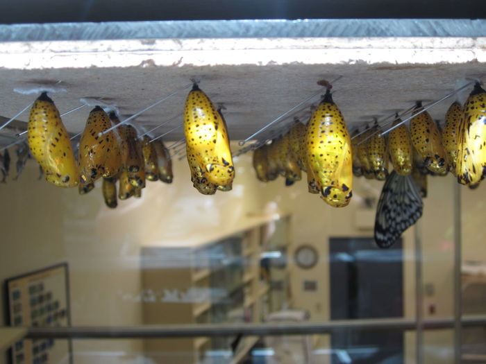 Close-up of butterfly cocoons
