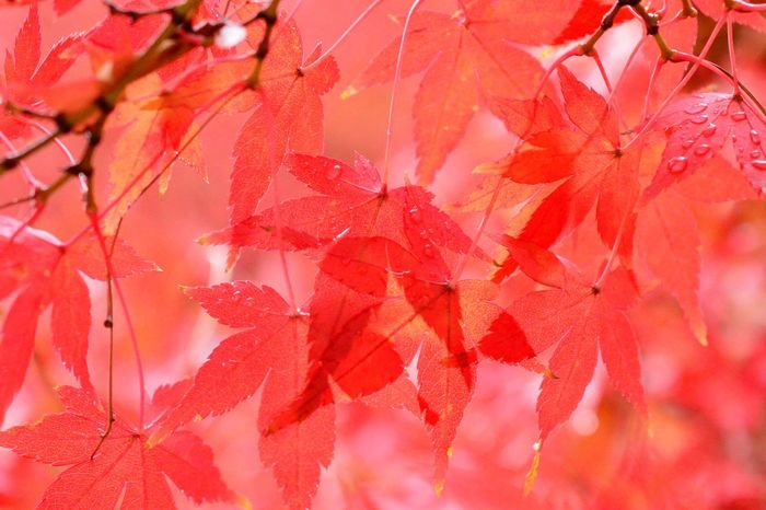 Layered Colors Red Leaves