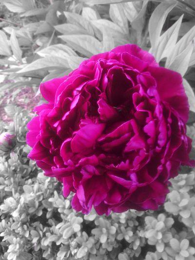 Flower#garden#nature#ecuador#santodomingoecuador#eyeEmfollowers#iphoneonly#nofiltrer#macro_garden#pretty#beautiful#followme#sho EyeEm Nature Lover Eyeem Colorkey A Little Touch Of Color