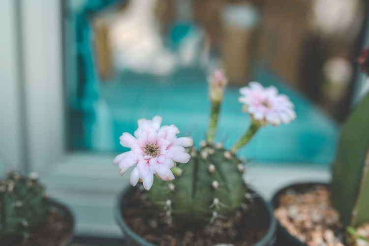 Cactus flower vintage style Flower Flowering Plant Plant Beauty In Nature Freshness Fragility Vulnerability  Petal Close-up Flower Head No People Nature Inflorescence Pink Color Growth Focus On Foreground Day Selective Focus Water Indoors  Flower Pot Cactus Garden Lifestyles Backgrounds