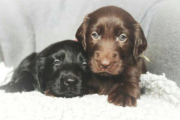 Probably the cutest puppies ever 😍 Relaxing Cheese! Puppies Cutenessoverload Giveme Flatcoated Retriever