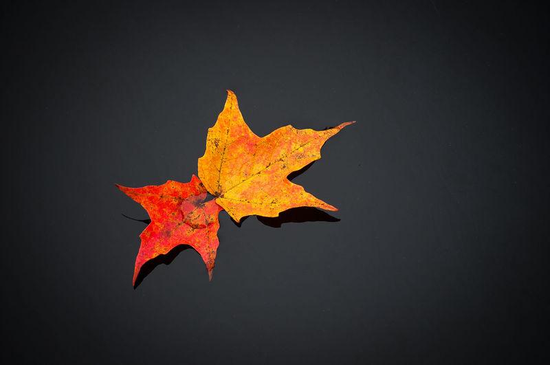 Close-up of maple leaf against orange background